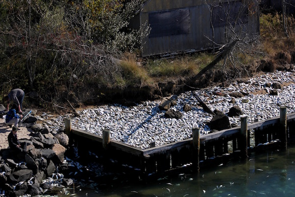 Thousands of dead fish suddenly showed up in a New York canal