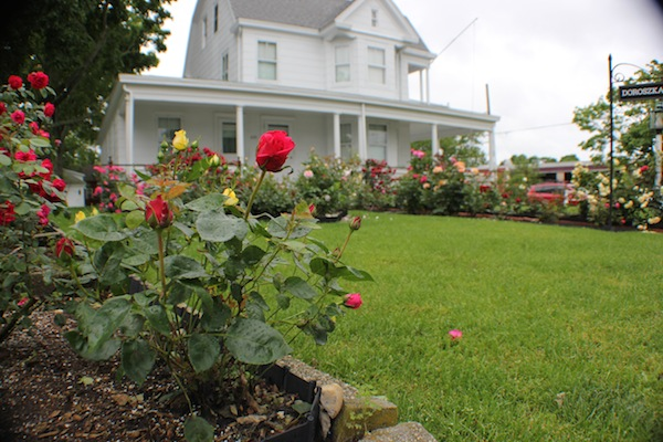Riverhead roses in the rain, Thursday
